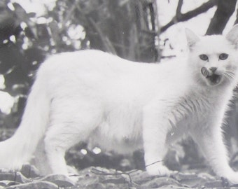 The Cat Came Back - Vintage 1930's White Cat With Leaf Stuck To Its Nose Snapshot Photograph - Free Shipping