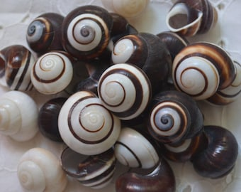 Chocolate Swirl Land Snails, Striped Shells, Helicostyla Roissya Black and White Lands Snail, Hermit Crab Shells | 5 Pieces