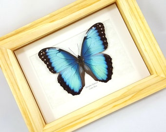 FREE SHIPPING Framed Morpho Helenor Blue Common Emperor Butterfly Taxidermy High Quality A1/A1-