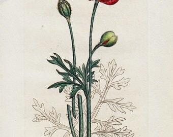 1792 Lovely Antique FLOWER Print, Handcolored  Red Poppy Flower, Black Berries, Botanical Print of Wild Flowers. Antique Print