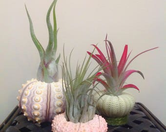 Sea Urchin Air Plant Trio