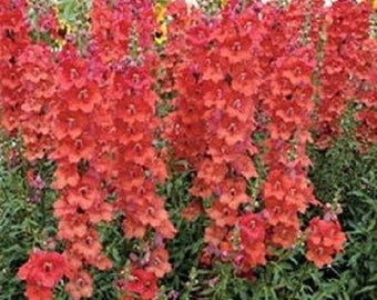 250 Seeds Snapdragon Orange Wonder Seeds