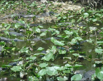 16x24 Poster; Alligators At Shark Valley Picture 213