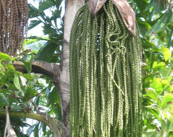 Fishtail Palm Seeds (Caryota) 10+ Rare Tropical Palm Tree Seeds