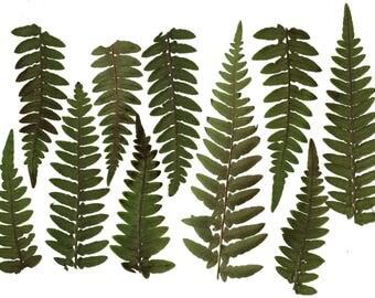 Pressed fern( 16pcs ).Real fern.Fern.Herbarium. Green. For Oshibana, Cards, Scrapbooking, decoupage, Wedding,Art & Craft Projects,frames