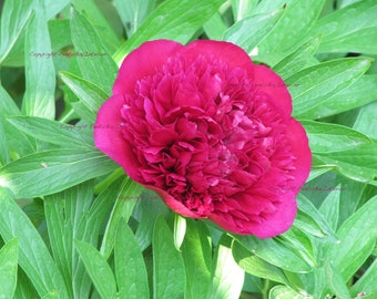 Digital photo, digital art, Peonie, instant download, for Mom, nature photo, Home Decoration