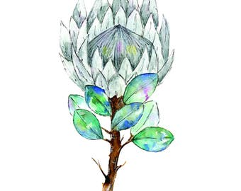 Limited Edition Grey King Protea Watercolour Print