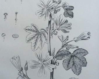 1875 Botanical print - Common Mallow - nature - wall decor - home decor - matted and ready to frame - 14 x 11 inches