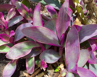 5 Live Wandering Jew + Free Gift! RARE COLORS; Established Starter Plant/Cutting; Organic Tradescantia, Vine Plant