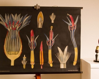 Vintage Pull down  School Chart  Cornflower Centaurea cyanus  by  Jung Koch Quentell Lithograph