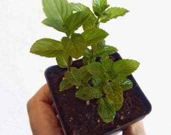 Chocolate Mint Plant - 100% Organic Heirloom NON-GMO