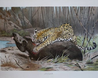 old print jaguar and tapir 1895