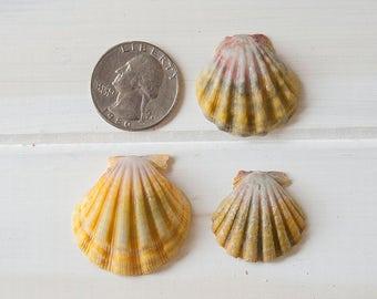 Kauai Hawaii Sunrise Shells, Lot of 3 Sunrise Shells, Hawaiian Shells, 998