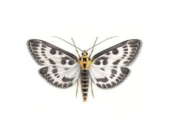 A4 size limited edition Art Print - Anania hortulata