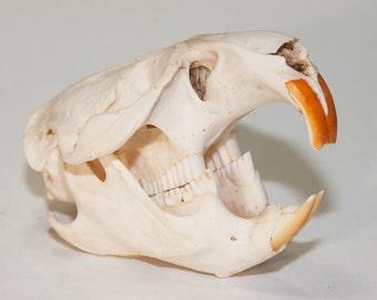Muskrat Skull | Animal Skull | Bone Skull |  Rodent Muskrat Skull