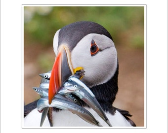 Puffin fine art photo - puffin - wildlife photography - 8 x 8 inch mount - puffin photograph - skomer island - nature photography