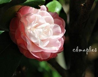 Camellia Flower Photo, Flower Photography, Japanese Camellia, Rose of Winter Photo, Plant Photo