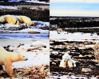 Polar Bear Blank Note Cards, Photo Note Cards, Polar Bears, Arctic Photos, Arctic Note Cards, Set of 4 Photo Note Cards