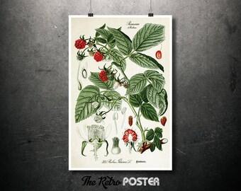 Raspberry Rubus Idaeus (European Raspberry) - 1903, Flora of Germany - Illustration Print, Nature, Botanical Poster Vintage, Kitchen Prints
