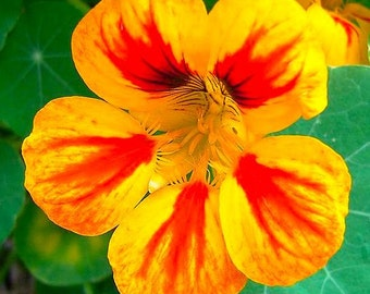 Tropaeolun Nasturtium Jewel Mix Edible Orange Red Yellow Flower ORGANIC 20 Seeds #1170