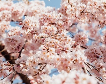 Japanese Cherry Blossoms - Photo Print