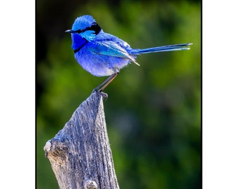 Splendid Fairy Wren - Any Occasion Card (5x7)