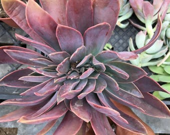 Graptoveria 'Fred Ives' Crested Form Succulent Plant