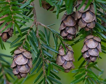100+ Wild Gathered Hemlock Tree Cones~ mini 'pine' cones, crafts, natural decor, woodland, rustic, wedding, fairy house, floral, green witch