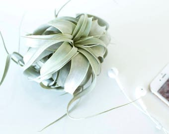 Tillandsia xerographica, air plant, carnation of air, Air plant, minimalist, natural decoration, home decor, gift for her, plants