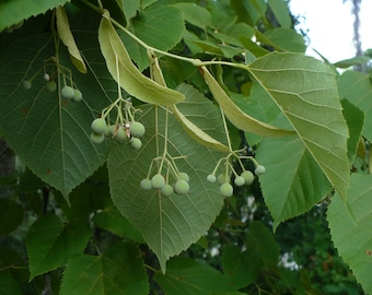 Basswood  American Linden  Tilia americana  30 Seeds