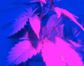 Viable Hemp Seeds Grow Hemp Raw