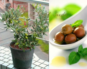 """UNIQUE!! Windowsill Olive Tree! 'Arbequina' Grows to 24"""" SELF-FERTILE! seeds."""