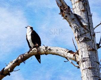 Daydream Believer - INSTANT DOWNLOAD - Osprey in Tree