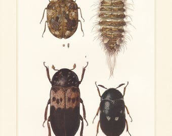 Vintage lithograph of varied carpet beetle, museum beetle, fur or carpet beetle from 1956