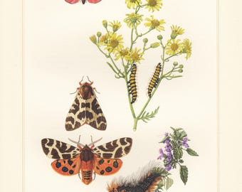 Vintage lithograph of cinnabar moth, garden tiger moth, great tiger moth from 1956