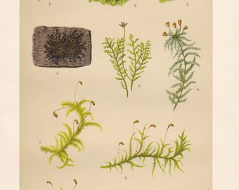 Vintage lithograph of sphagnum moss, brachythecium moss, crystalwort, common liverwort, handsome woolywort from 1911