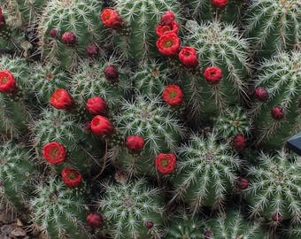 Cactus in Bloom, Photo, New Mexico, Spring