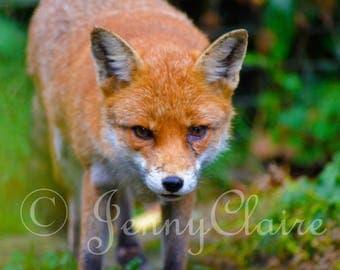 fox digital download photography