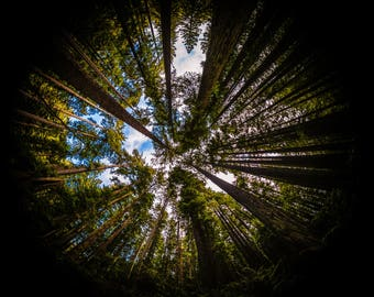 Redwood Forest Fisheye
