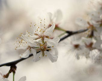 Flower Photography, Dreamy Decor, Farmhouse Style, Fine Art Print, Cherry Blossoms, Spring Photo, Photograph, Bedroom Decor, White, Beige