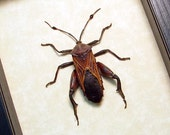 Real Framed Thasus Neocalifornicus The Giant Mesquite Bug 8381