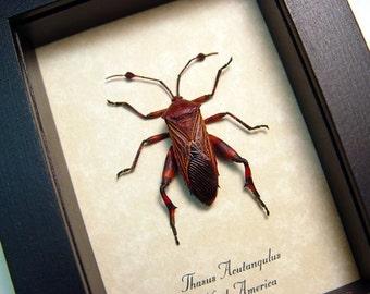 Real Thasus Acutangulus Leaf Footed Framed Mesquite Bug 8481