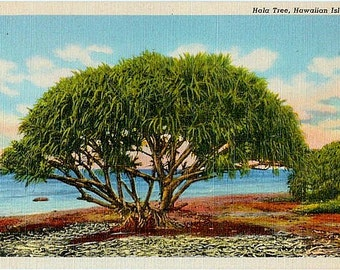 Vintage Hawaii Postcard - A Hala Tree on the Beach (Unused)