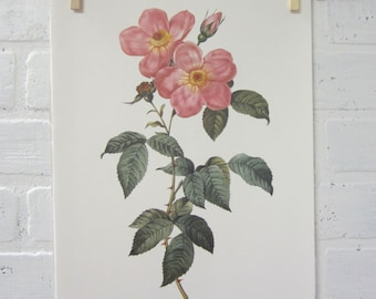 Redoutes Roses Book Page Plate Botanical Wall Art Pink Rosa indica fragrans flore simplica Rose