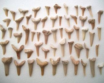 Lot of 50 Damaged Fossilized Shark Teeth