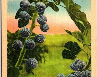 Figs, Ripe Figs, Fig Tree, South - Linen Postcard - Postcard - Unused (II)