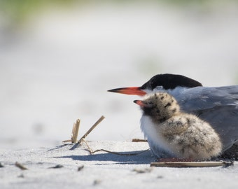 Least Tern Photo, Mother and Baby, Nesting Birds, Tern Chick, Wildlife Photo, bird photograph, nature photography - fine art photograph
