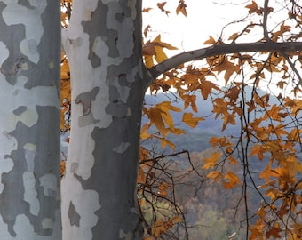 The Sycamores -  Nature, landscape photography, fall, autumn, sycamore, fine art, trees, art, California, rustic, home decor, mountains