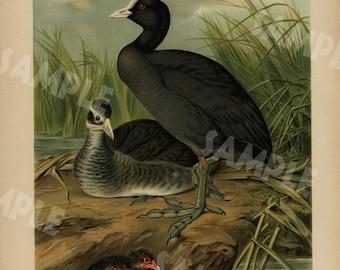 Original antique bird print large folio natural history Chromolithograph decorative art wall art 1890's  EURASIAN COOTGEMEINES WASSERHUHN