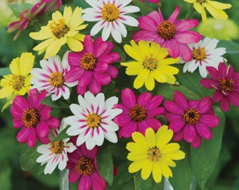 AZZ)~ZAHARA RASPBERRY Lemonade Mix Zinnia~Seeds!!!!~~~~~~Unique Mix!